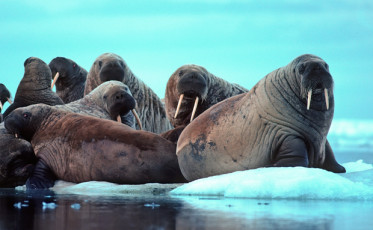 TWIS_Walrus