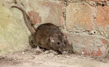 Brown rat, Rattus norvegicus