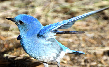 Mountain Bluebird Stretching its Wings
