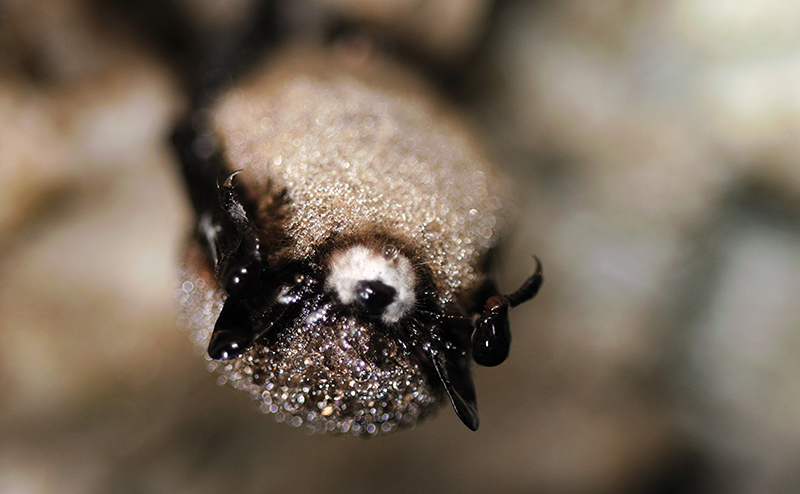 Animal Plagues_Little_brown_bat_with_white-nose_syndrome_5751822315_USFW