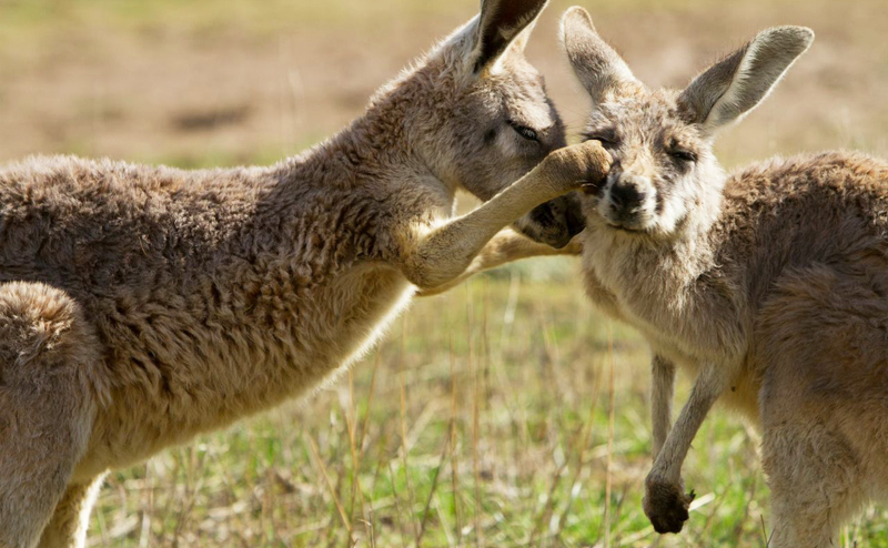 kangaroo_800x494
